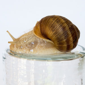 mucine d'escargot