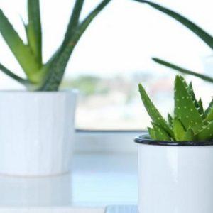 Comment cultiver une plante d'aloe vera à la maison ?