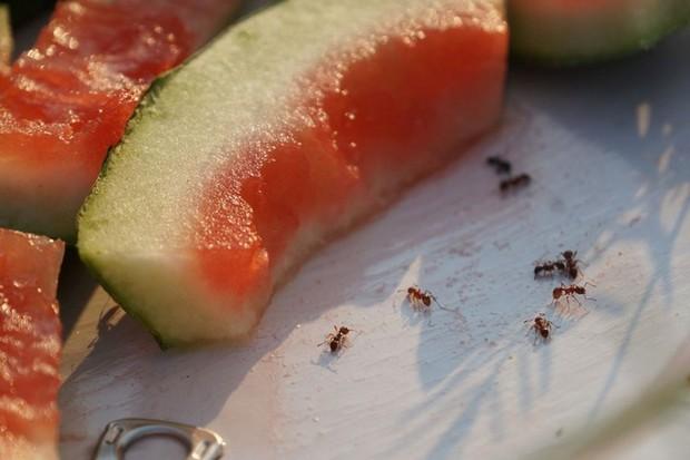 les fourmis sont attirés par les restes de nourriture